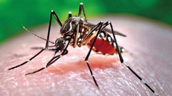 کراچی سمیت سندھ بھر میں ڈینگی مچھر کی بہتات