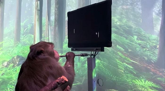 الیکٹرانک چپ کے ذریعے بندر بھی کمپیوٹر  پر گیم کھیلنے لگے