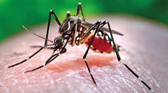 ڈینگی مچھر پاکستان کے ہر علاقے میں پہنچ گیا، ادارہ صحت نے خبردار کردیا